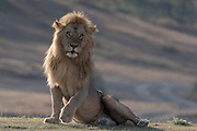 Portrait of a male lion, Panthera leo, sitting and looking at the camera.