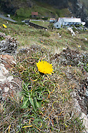 SPOTTED CAT'S-EAR Hypochaeris maculata (Asteraceae) Height to 30cm. Rather distinctive perennial that grows in dry grassland and on broken, rocky slopes, mainly on calcareous soils. FLOWERS are borne in heads 3-5cm across, with lemon yellow florets and blackish bracts; heads are solitary and carried on bristly stalks (Jun-Aug). Has scales between florets. FRUITS have feathery hairs. LEAVES are ovate, wavy-edged, bristly and marked with reddish purple spots. STATUS-Rare and local.