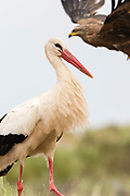 White stork and a black kite flying in the background, Trujillo, Extremadura, Spain.