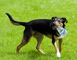 Young playful Black and Tan juvenile mongrel dog plays with a discarded plastic bottle found in the park attention caught by flying insect<br /> <br /> Wallace Walk 22 July  Copyright Paul David Drabble