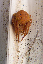 31 Jan 2014. New Orleans, Louisiana.<br /> A huntsman spider sits at the entrance to the studio. <br /> Photo; Charlie Varley/varleypix.com