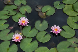 Water Lily, pink #8s