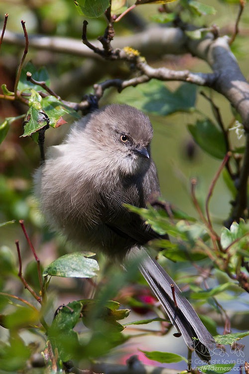 A female bushtit (Psaltriparus minimus) rests in a tree in Discovery Park, Seattle, Washington. The bushtit is one of North America's smallest birds with a wingspan of just 6 inches and a weight of just over 5 grams. Bushtits commonly feed in large flocks.