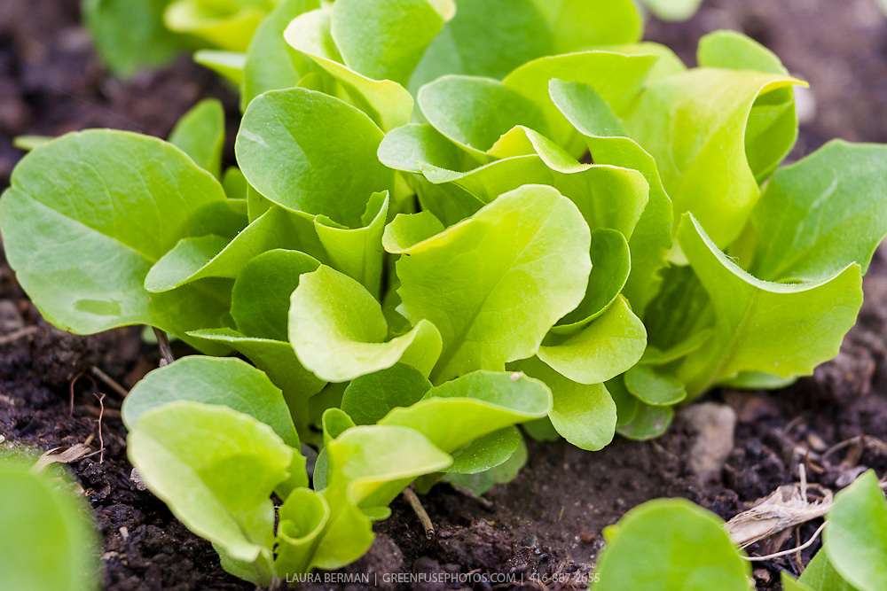Bright direct-sown green lettuce seedlings in the garden in early spring.