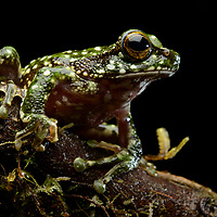 With over 320 described species and probably as many more yet awaiting discovery, New Guinea hosts a staggering diversity of frogs. This unidentified tree frog (Litoria sp.) was photographed in the moss forest of a remote mountain in the northern Jayawijaya Range. Papua, Indonesia (New Guinea).
