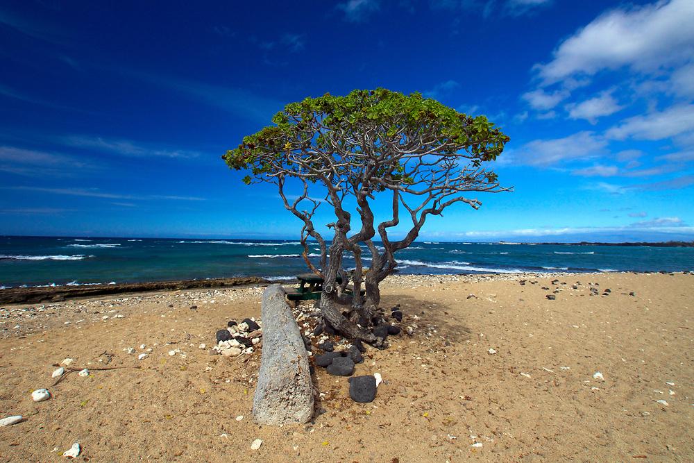 A lone tree on the beach in Hawaii. Photo by Adel B. Korkor.