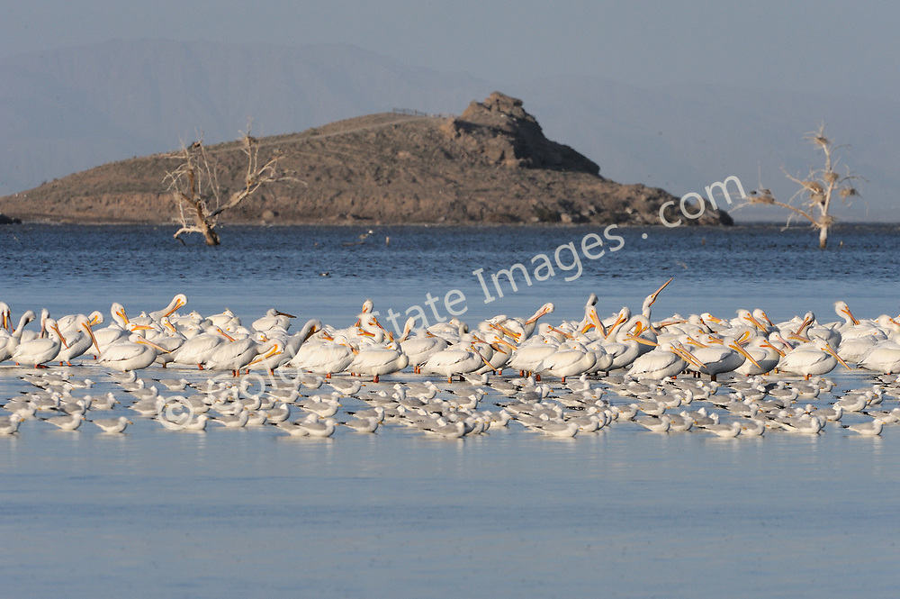 White Pelicans with Morro Rock in background.<br /> <br /> Range: British Columbia to Southern California <br />   <br /> Species: Pelecanus erythrorhynchos