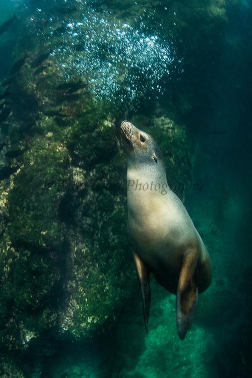 Galapagos Sealion (Zalophus wollebaeki)<br /> Puerto Egas, Santiago Island<br /> GALAPAGOS ISLANDS<br /> Pacific Ocean<br /> ECUADOR.  South America