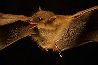 Blossom Bat (Syconycteris sp. nov.)<br />