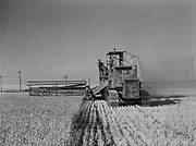 """9969-4289. Combine harvesting wheat, head-on view. July 29, 1939. Henry Pinkerton wheat ranch near Moro, Oregon. Combine is an Advance Rumely of 1930, tractor a """"60"""" Caterpillar of 1928."""