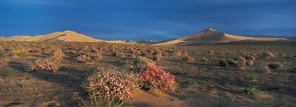 Morning Glory (Convolvulaceae) in bloom<br /> Hongryn Eels<br /> Gobi Desert<br /> Mongolia
