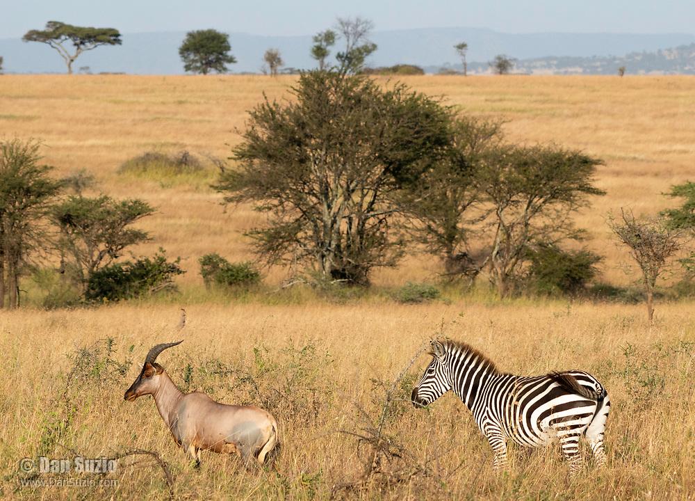 Topi, Damaliscus lunatus, and Grant's Zebra, Equus quagga boehmi, in Serengeti National Park, Tanzania
