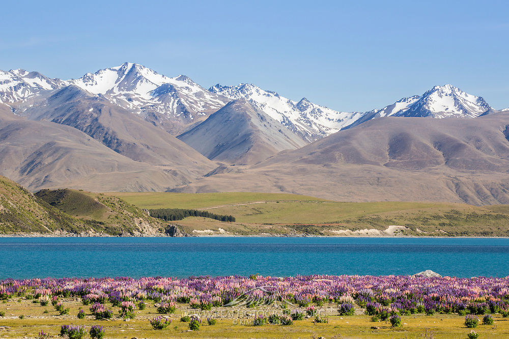 It's hard to beat the majestic beauty of Lake Tekapo when the colorful lupins sit below the snow-capped mountains!