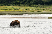 A grizzly bear boar chases salmon in the lower lagoon at the McNeil River State Game Sanctuary on the Kenai Peninsula, Alaska. The remote site is accessed only with a special permit and is the world's largest seasonal population of brown bears.