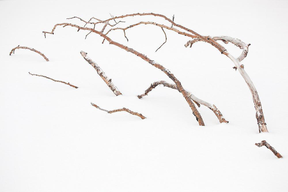 Branches partially buried in snow, San Juan Mountains, Colorado.