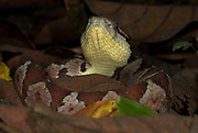 Jumping Pitviper Snake, Atropoides mexicanus, Central American, jumping tommygoff, mainly nocturnal, but sometimes basks in sun, in leaflitter, tail used as a lure, camouflaged, venemous