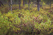 Bog-myrtle (Myrica gale) branches and leaves showing slight autumn touch, near Žocene, Kurzeme Seacoast, Latvia Ⓒ Davis Ulands | davisulands.com