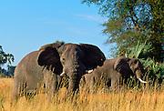 Elephants feeding in Moremi, Botswana
