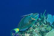 stoplight parrotfish, Sparisoma viride, <br /> terminal male phase, or supermale,<br /> with sharksucker, Echineis naucrates <br /> Walker's Cay, Abaco Islands, Bahamas ( Atlantic Ocean )