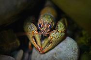 Ozark Crayfish<br /> <br /> Isaac Szabo/Engbretson Underwater Photography