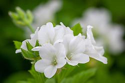 Pelargonium white strigifolium. Species pelargonium