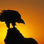 Golden Eagle (Aquila chysaetos) silhouetted by the setting sun. Captive Animal