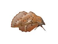 Small Lappet - Phyllodesma ilicifolia<br /> 66.011 BF1641
