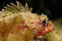 Scorpion Fish (Scorpaena notata), Gozo, Maltese Islands