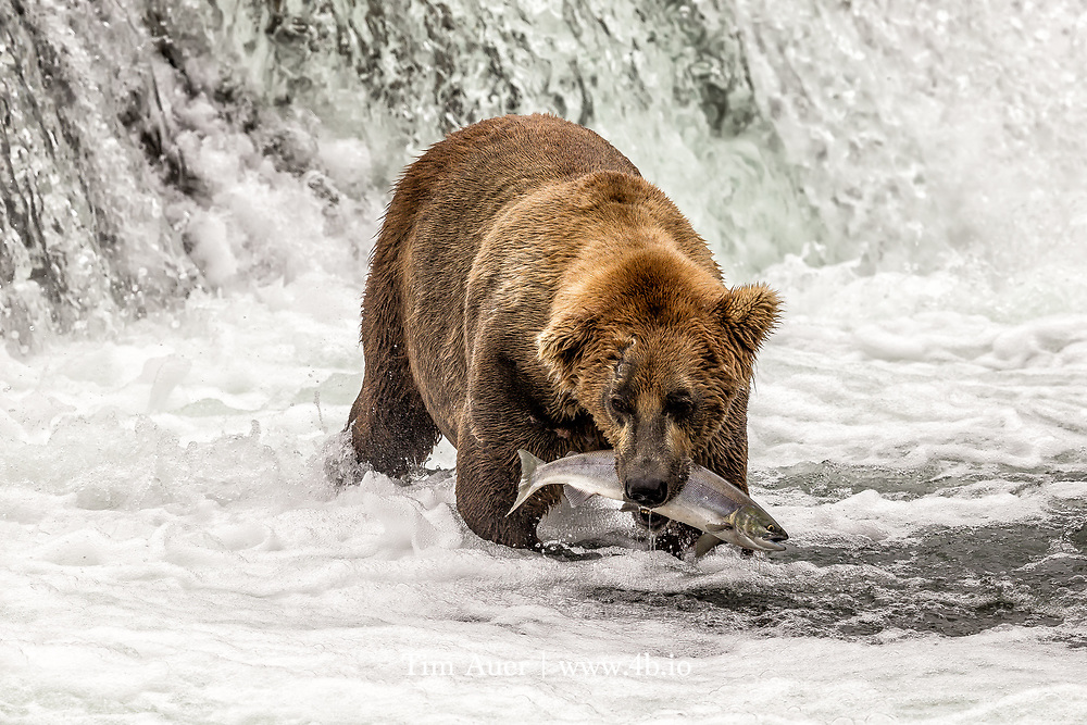 A fully grown brown bear male handles a beautifully silver-colored pre-spawn sockeye salmon.