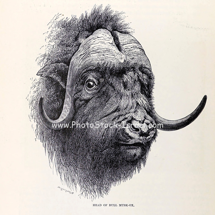 The muskox (Ovibos moschatus), also spelled musk ox and musk-ox is a hoofed mammal of the family Bovidae. Native to the Arctic, it is noted for its thick coat and for the strong odor emitted by males during the seasonal rut, from which its name derives. From the book ' Royal Natural History ' Volume 2 Edited by Richard Lydekker, Published in London by Frederick Warne & Co in 1893-1894