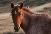 A feral horse (Equus caballus) stands in Theodore Roosevelt National Park in North Dakota. Wild horses have lived in the badlands of western North Dakota since the middle of the 19th century, and about 100 horses currently inhabit the national park.