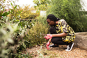 """SAN FRANCISCO, CA – SEPTEMBER 16, 2017: Incoming Freshman Oluwasunmisola volunteers at Garden for the Environment, a nationally acclaimed education and demonstration garden in the Inner Sunset neighborhood of San Francisco. Designed to inspire youth and adults, the garden has taught sustainable gardening practices to San Franciscans since 1990 with the mission of providing all individuals with the practical skills necessary to contribute to sustainability. """"Co-curricular"""" programs like these are organized weekly in each global city as a compliment to the students' coursework, and are designed to facilitate active learning through the civic partnerships. Consistent with the """"flipped"""" classroom model, these experiential learning components are an embodiment of the Minerva ethos, where the city is the classroom. For incoming freshmen, San Francisco is the first of eight global cities to serve as a backdrop for their undergraduate education.<br /> <br /> Minerva is a unique 21st century university built on a global four-year education model. It is deliberately designed to enhance intellectual growth and prepare students for success in today's rapidly changing global context. Founded in 2014, the university targets the developing world's rising middle class who seek an elite American education. With a 2.8% acceptance rate among the founding class, Minerva is the most selective undergraduate program in U.S. history."""