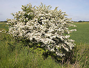 Hawthorn bush tree Crataegus in flower Suffolk England