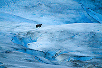 Black Bear wandering around glacier in Glacier Bay National Park, AK.