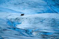 Black Bear wandering around glacier in Glacier Bay National Park, AK.