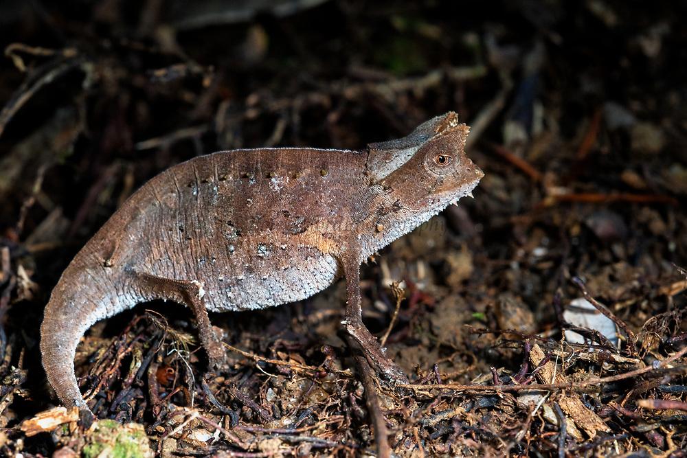 Brown Leaf Chameleon (Brookesia superciliaris)<br /> East Madagascar<br /> Mantadia National Park<br /> MADAGASCAR<br /> ENDEMIC