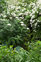 Achillea grandifolia in a cottage garden with rose Rambling Rector