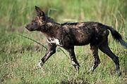 Wild dog walking