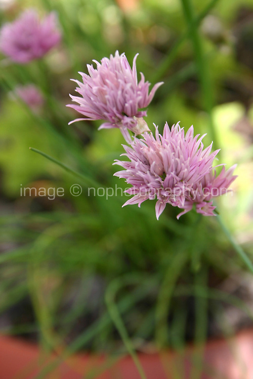 Chive plant<br />