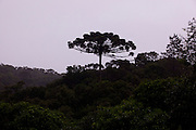 Curitiba_PR, Brasil...Detalhe de uma araucaria na  Serra do Mar, arvore simbolo da cidade de Curitiba, Parana...Detail of araucaria in Serra do Mar, a tree is a simbol of Curitiba, Parana...Foto: BRUNO MAGALHAES / NITRO