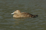 Eider (female) Somateria mollissima L 50-70cm. Bulky seaduck with distinctive profile: wedge-shaped bill forms continuous line with slope of forehead. Gregarious for most of year. In summer, female flocks supervise 'creche' of youngsters. Sexes are dissimilar. Adult male has mainly black underparts and white upperparts, except for black cap, lime green nape and pinkish flush on breast. In eclipse, plumage is brown and black, with some white feathers on back, and pale stripe above eye. Adult female is brown with darker barring. Juvenile is similar to adult female but with pale stripe above eye. Voice Male utters endearing, cooing ah-whooo. Status Almost exclusively coastal. Nests close to seashore and feeds in inshore waters, diving for prey such as mussels.