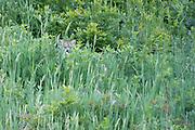 A Colorado mountain lion, or cougar, hides in the tall grass.
