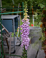 Foxglove flowers. Image taken with a Leica TL-2 camera and 55-135 mm lens.
