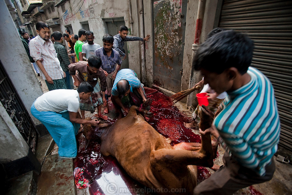 Men butcher a cow in a makeshift abattoir on the street in Dhaka, Bangladesh as they prepare for the annual religious festival of Eid al-Adha. Bangladesh has the world's fourth largest Muslim population, and during the three days of Eid al-Adha, the Festival of Sacrifice, Dhaka's streets run red with the blood of thousands of butchered cattle. The feast comes at the conclusion of the Hajj, the annual Islamic pilgrimage to Mecca. In both the Koran and the Bible, God told the prophet Ibrahim (Abraham) to sacrifice his son to show supreme obedience to Allah (God). At the last moment, his son was spared and Ibrahim was allowed to sacrifice a ram instead. In Dhaka, as in the rest of the Muslim world, Eid al- Adha commemorates this tale, and the meat of the sacrificed animals is distributed to relatives, friends, and the poor.
