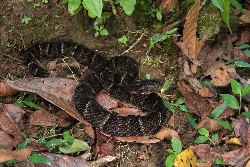 Osborne's Lancehead (Bothrops osbornei)<br /> Western Cloud Forest<br /> ECUADOR<br /> Vivarium ID # 3641<br /> Captive<br /> Rare