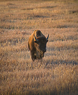 A lone bison stands in the morning light.