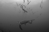 A Green Sea Turtle glides by, with Hammerheads passing overhead<br /> <br /> <br /> Shot at Cocos Island, Costa Rica