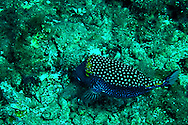Spotted Boxfish Male, Ostracion meleagris, Maui Hawaii