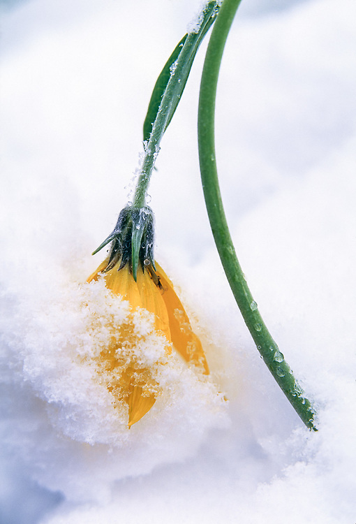 Balsamroot wildflower, late spring snowstorm, Grand Teton National Park, Wyoming, USA