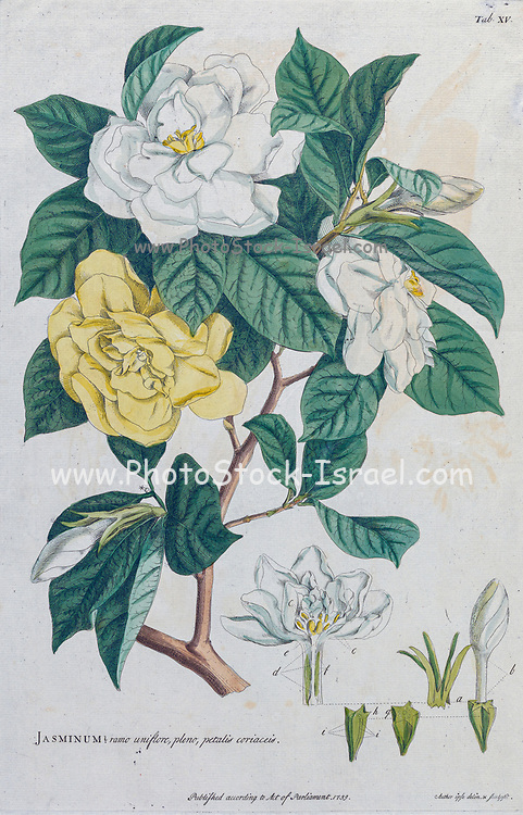 Jasmine (Jasminum) Engraving, hand-colored print of plants and butterflies from Plantae et papiliones rariores (rare plants and butterflies) by Ehret, Georg Dionysius, 1708-1770 Published in London in 1748